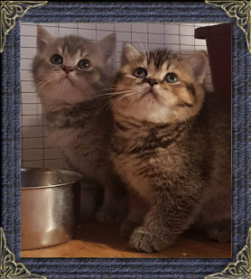 Mabledon British Shorthair Cats - British Blue Shorthair