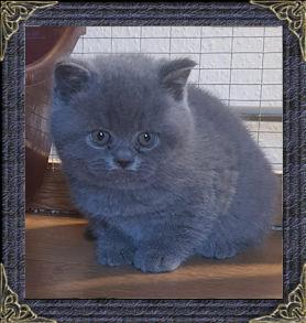Mabledon British Shorthair Cats - British Blue Shorthair