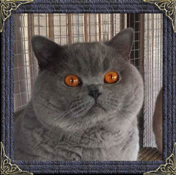British Blue Shorthairs
