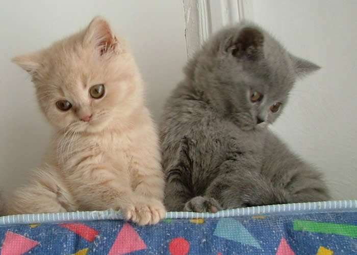 British Shorthair Cat For Sale Usa